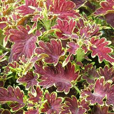 Coleus Copinto® ´Cuba Libre´ / Koleus / Okrasná žihľava, K7 Cuba, Mojito, Plants, Caipirinha, Balcony, Plant, Planets