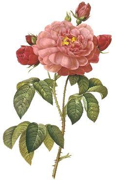 Free French Botanical Illustration #rose #flowers
