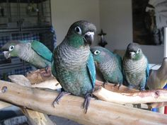Turquoise Green Cheek Conures