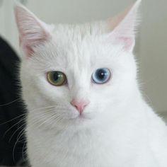 El gato Van es considera una especie rara, bella y ciertamente más inusual de raza de gato conocido.