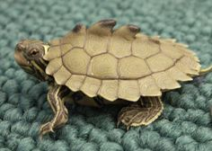 Black Knob Sawback turtle... coolest turtle I've ever seen!