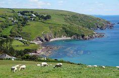 Looking back at Talland Bay and some newly shorn sheep foto Cornwall Cam