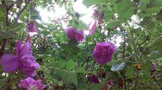 {{Pastel Pink Rose Bush}}