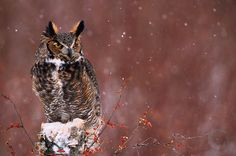 Great Horned owl in snowstorm