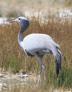 South Africa's national bird the Blue Crane, in Namibia.