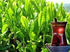 Osman Müftüoğlu Çayın Faydaları