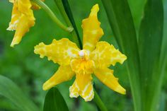 https://flic.kr/p/p7E7by | Odontoglossum hybrid | Odm.'Geyser gold'