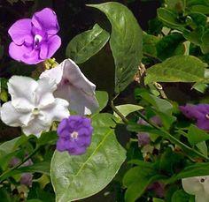 Diamelo.Brunfelsia cultivo y cura