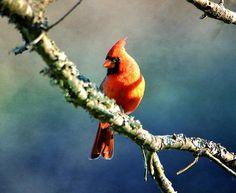 Title  Northern Cardinal   Artist  Deena Stoddard   Medium  Photograph - Photograph