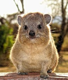 Rock Hyrax, the closest living relative to the elephant, along with sea cows and manatees.  These four mammals are unlike any other mammals, and share a few disproportionate physiological similarities in teeth, leg and foot bones, and a few other details.