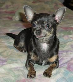 Chihuahuas: What's Good About 'Em, What's Bad About 'Em ...