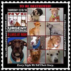 9 WONDERFUL INNOCENT DOGS ARE DEPENDING ON US SAVING THEM FROM THE MASS MURDERERS AT NYC ACC 12/08/16 - - Info Please Share: To rescue a Death Row Dog, Please read this:http://information.urgentpodr.org/adoption-info-and-list-of-rescues/ To view the full album, please click here: http://nycdogs.urgentpodr.org/tbd-dogs-page/ - Click for info & Current Status: http://nycdogs.urgentpodr.org/to-be-destroyed-4915/