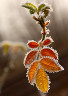 Orange Frost - EXPLORED by The Ginger Pixie, via Flickr