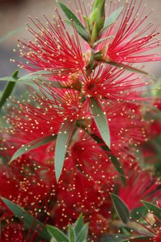Australian Bottlebrush flower. Photography by TwoFlower. Tagged with bottlebrush,flower,red.