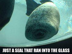 Seal Face Plant - Seal Hits Glass at Aquarium - Swimming Fail