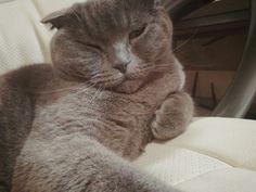 Британский кот. Спит