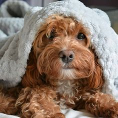 Cavapoos are a result of breeding a Cavalier King Charles Spaniel with a poodle. Also known as a Cavoodle, the poodle part of the crossbreed is usually a Miniature Poodle. If you're lucky, this… Cute Dogs Breeds, Cute Dogs And Puppies, Baby Dogs, Pet Dogs, Dog Breeds, Pets, Puppies Tips, Adorable Puppies, Mini Dogs