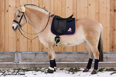 """"""" This is my new fjord Cory , or his show name Cory just wanna have fun . he's 6yo gelding , he does dressage , Xc and Showjumping . He is really nice to ride with . I love his charming way of showing off his powet """" - Zahara"""