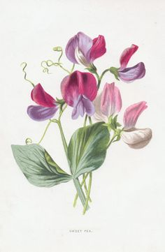 Google Image Result for http://www.collectorsprints.com/_images/botanical/garden/g1/500/sweet-pea.jpg