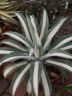 Agave americana 'Mediopicta Alba' (White-Centered Mexican Century Plant)