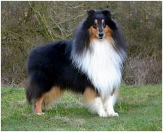Rough Collie - Facts, Pictures, Puppies, Rescue, Temperament ...