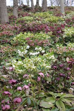 Beautiful Hellebores of West Virginia. What a unique farm.