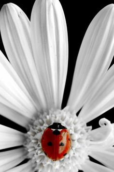 close up of a white daisy with a ladybug . like the raylike effect and the off-the-card placement of the daisy . Beautiful Creatures, Animals Beautiful, Foto Macro, Beautiful Flowers, Beautiful Pictures, White Flowers, Daisy, Foto Poster, A Bug's Life