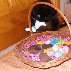 "A couple of weeks ago, Erin shared with us a picture of her kitties' Easter basket. Erin has three cats and their names are Peru, Tycho, and Vesper.   Please say ""Hi"" to Tycho! Tycho is taking a bite of the white chocolate Easter bunny."
