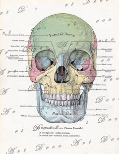 vintage skull print in pastel colors, medical art illustration from the printable file for unique home decor, arts and crafts, Halloween decorations and more. art Vintage skull print in pastel colors, medical art from the printable image no. Ernst Haeckel, Anatomy Art, Human Anatomy, Face Anatomy, Anatomy Organs, Anatomy Bones, Skull Anatomy, Medical Art, Medical Drawings