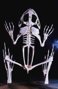 skunk skeleton - google search | final drawing | pinterest | bone, Skeleton