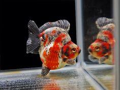 Ryukin Goldfish, Pet Goldfish, Pretty Fish, Beautiful Fish, Goldfish Types, Oscar Fish, Life Under The Sea, Golden Fish, Mermaid Drawings