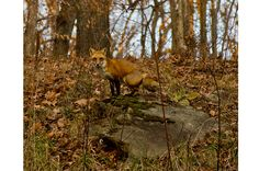 Red Fox in Virginia - http://scenicvirginia.org/gallery/2015-winners-honorable-mentions/2015-honorable-mentions/