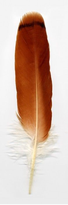 ☆ Red Tailed Hawk Feather :: Julian Chandler Photography ☆
