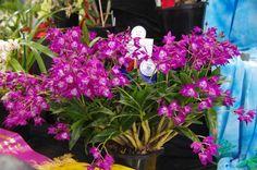 Dendrobium Hookerianum | Champion Australian Native Orchid Specimen