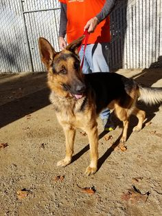 Handsome boy, SimpliRed, is now safe in a GSRNC foster home.  Nov. 30, 2017