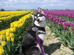 Dubs and those purple and yellow (gold) tulips! Adorable!