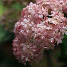 ・ *my garden* ・ *こんにちは* ・ やっと恵みのシトシト雨が((*´∀︎`)) 紫陽花が嬉しそうに見えるよ〜 さすが雨が似合うね♡ ピンクアナベル。 秋色紫陽花。 アナベル。 皆さんはどれが好み⁉︎ ・ よい1日を… ・ *・゜゚・*:.。..。.:*・・*:.。. .。.:*・゜゚・* ・ #garden#flowerslovers#gardening#home#instagarden#instapic#gardenpic#nature#fleur#flower#natural#flowerstagram#flowergarden#hydrangea#ガーデニング#ガーデナー#ガーデン#花#暮らし#ナチュラルガーデン#マイガーデン#庭作り#ナチュラル#庭#花フレンド#花のある暮らし#ザ花部#はなまっぷ#庭いじり#紫陽花 http://gelinshop.com/ipost/1521539995873040788/?code=BUdmJCVj9mU