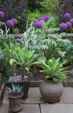 Containers of Agave attenuata and Agave 'Sharkskin' with Allium 'Ambassador' rising behind, in The Teacup Garden at Chanticleer.