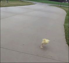 Running duckling chick - gif