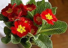 Prvosenka, Květ, Rozkwitnięty, Červená