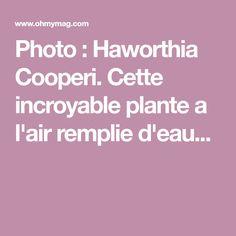 Photo : Haworthia Cooperi. Cette incroyable plante a l'air remplie d'eau...