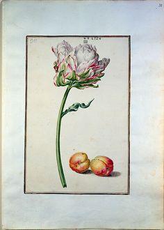 """Aquarell aus dem """"Karlsruher Tulpenbuch"""". Papier; Karlsruhe; um 1730 Badische Landesbibliothek, Blatt 30"""