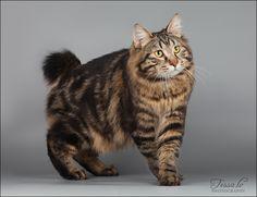 Kurilian Bobtail Manx, All Cat Breeds, American Bobtail Cat, Cat Reference, Cat Photography, Small Cat, Fat Cats, Kittens Cutest, Cats And Kittens