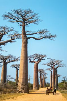 The Avenue de Baobab consists of more than 20 baobab trees which are up to 800 years old. Rwanda Travel, Amazing Photography, Nature Photography, Travel Photography, Art Cube, Baobab Tree, Summer Wallpaper, Cool Photos, Earth