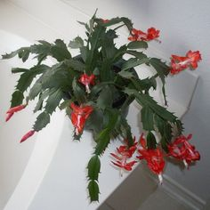 Christmas Cactus Problems – Tips For Reviving A Limp Christmas Cactus