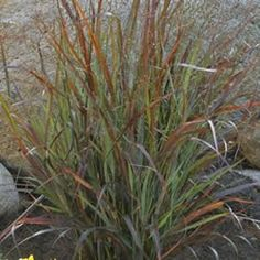 For rock garden. Cheyenne Sky Grass. Relaxing, soft rustling sound as it sways in the breeze. Indifferent to heat, humidity, drought, wind and salt. Wonderful for beach yard.