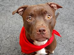 URGENT! THIS DOG WILL BE EUTHANIZED UNLESS A HOLD IS PLACED ON HIM BY NOON 7/17/14.  LOG IN TO THE AT RISK LIST TO PLACE A HOLD AND SAVE A LIFE.   http://www.nycacc.org/PublicAtRisk.htm  .........Manhattan Center  My name is PJ. My Animal ID # is A1006117. I am a male brown and white pit bull mix. The shelter thinks I am about 2 years old.