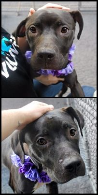 RETURNED 07/19/16 NO TIME --- SAFE 5-17-2016 --- Manhattan Center JAZZY – A1072915 FEMALE, BLACK / WHITE, PIT BULL MIX, 10 mos STRAY – STRAY WAIT, NO HOLD Reason STRAY Intake condition EXAM REQ Intake Date 05/09/2016 http://nycdogs.urgentpodr.org/2016/05/jazzy-a1072915/