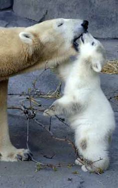 """Polar Bear Mom: """"You are the best thing that ever happened to me Son."""" (Photo Taken at Brookfield Zoo. Cute Baby Animals, Animals And Pets, Funny Animals, Especie Animal, Mundo Animal, Brookfield Zoo, Baby Polar Bears, Photo Animaliere, All About Animals"""