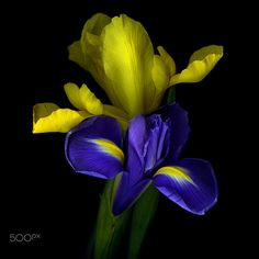 PURE SYNERGY… IRISES. by Magda Indigo on 500px